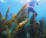 アカモク 藻を刈る